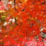 千葉県内屈指のもみじの名所「もみじロード」の紅葉写真